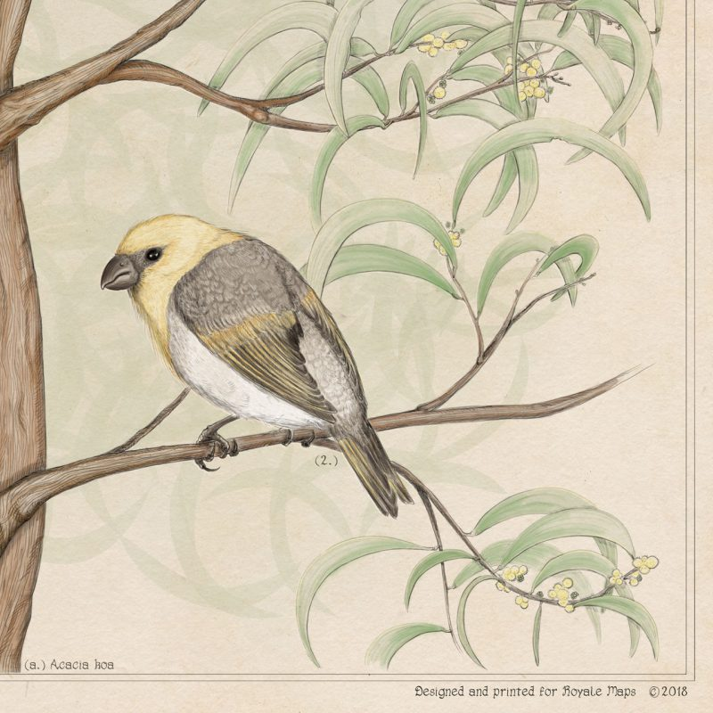 Print of palila bird endemic to Hawaii